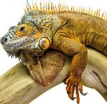 depositphotos_30535929-iguana-reptile-animal